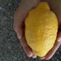 Stenes gincitron, direkt från trädet