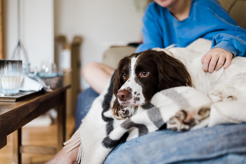 springer spaniel on sofa with girl in background