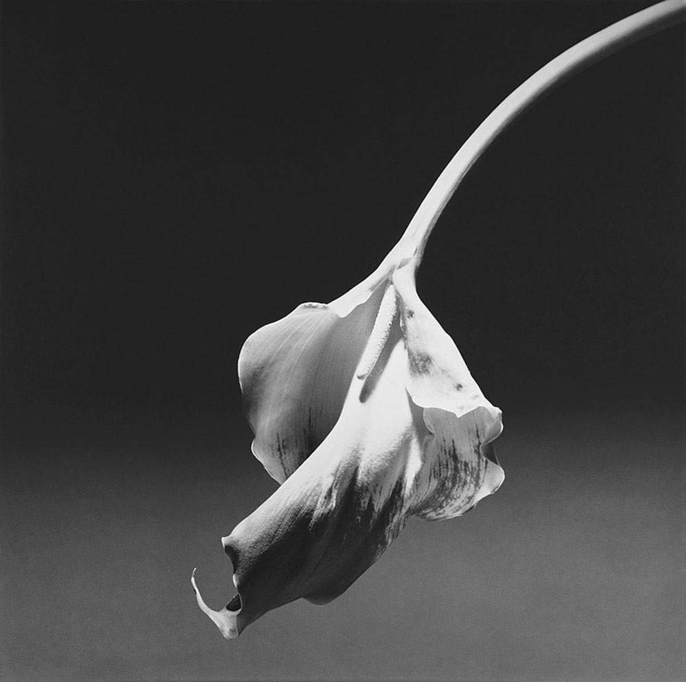 Calla Lily (1986)