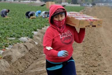 Mixteca field worker at the strawberry fields, Oxnard, CA Oxnard, Mixteca.