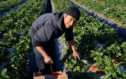 Young Mixteco working ta the strawberry fields, Oxnard, CA