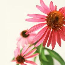Herbalism Echinacea