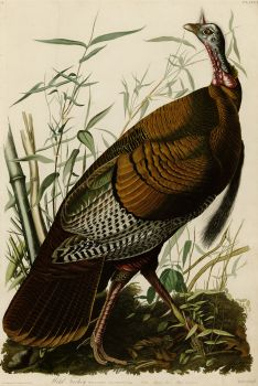 Naturalist, ornithologist and painter John James Audubon (1785-1851) depicting a wild American turkey. Wikimedia Commons Photo