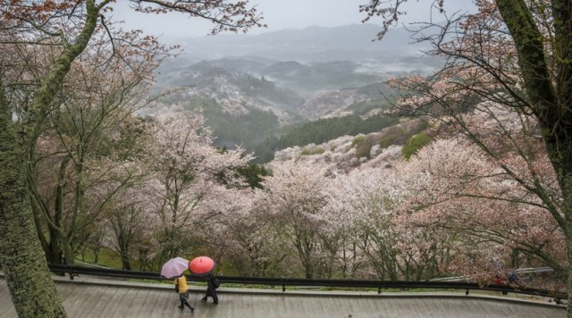 The Cherry Blossoms in Nara, Japan