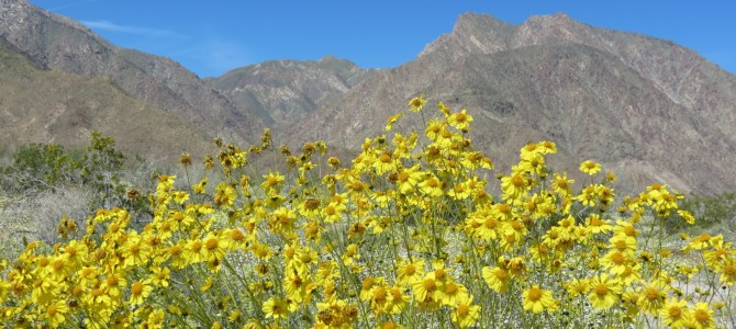 Desert Wildflowers Day Trip — Borrego Springs, CA