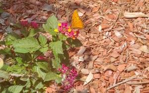 butterfly & lantana