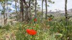Alpine Poppy Field & Trail in Utah County