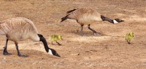 Geese and chicks