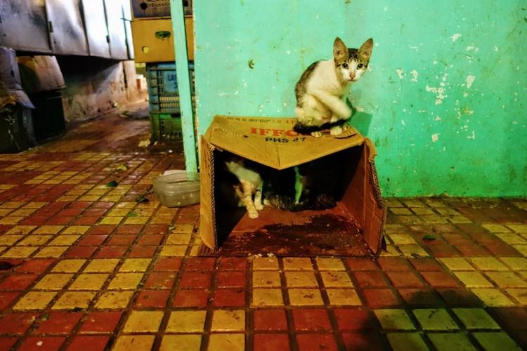 Tangier cat