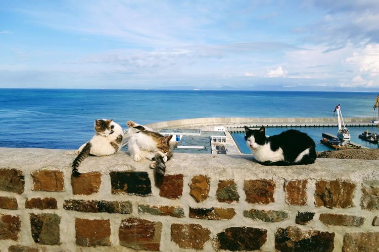 Tangier cats