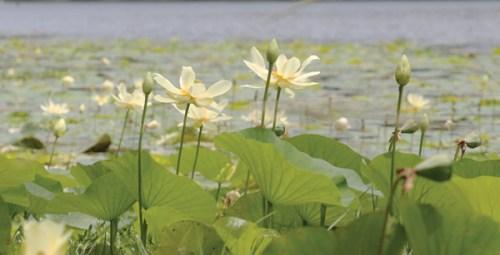 Fun-Lilies