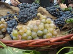 Umbria grapes