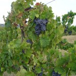 The wine grapes of Umbria