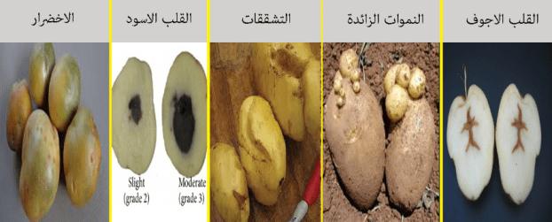 زراعة البطاطس فوق السطح