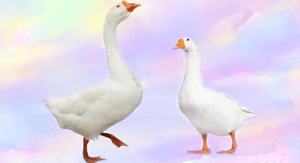 ما الفرق بين البط والإوز