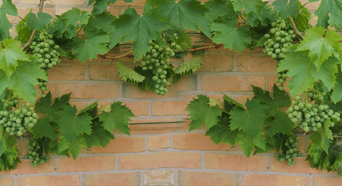 زراعة العنب في برميل