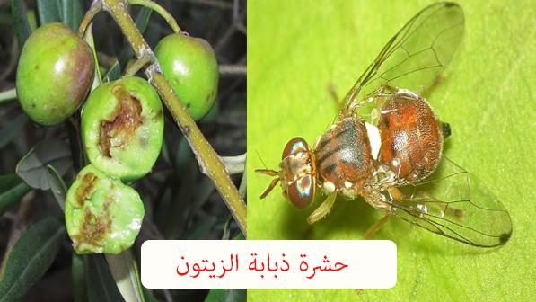 برنامج مكافحة ذبابة الزيتون