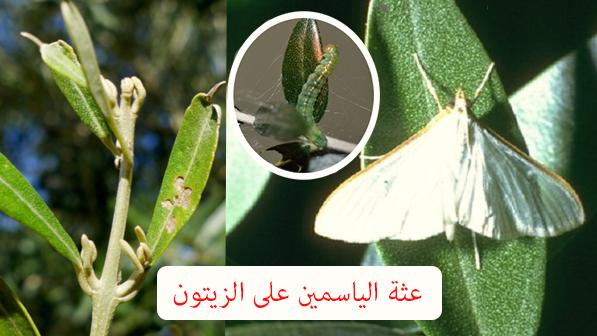 حشرات الزيتون بالصور