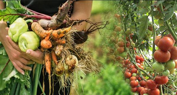 مواعيد زراعة الخضروات في السعودية