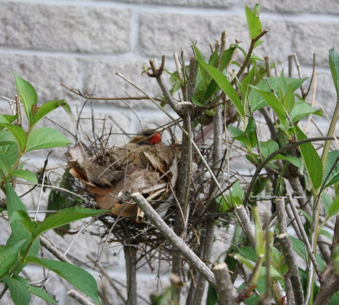 Mother Cardinal on her nest