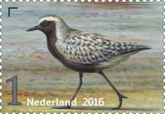 Griend-vogels-van-het-wad-zilverplevier