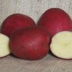 Grow Red Duke of York Potatoes
