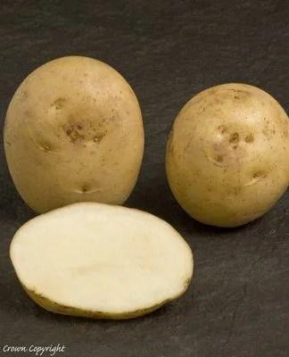 Home Guard Seed Potato