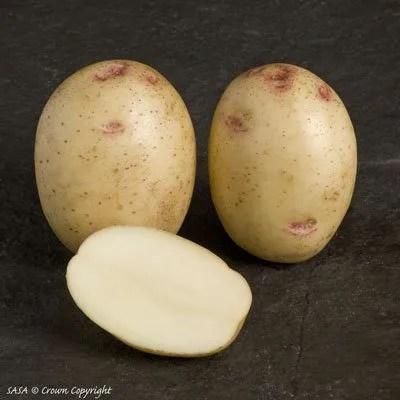 Osprey seed potatoes