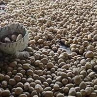 India: Potato prices to stay firm due to 'lockdown' bulk buying, low production