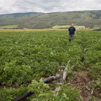 COVID-19: Major impact on Idaho seed potato grower
