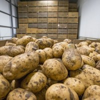 Tips on effective use of maleic hydrazide in potatoes