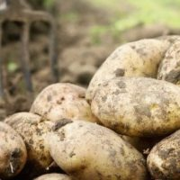 IFA: Potato market in Ireland largely unchanged; drought a concern across Europe