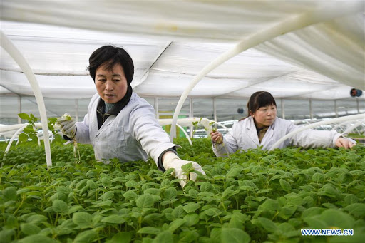 Potato breeding China