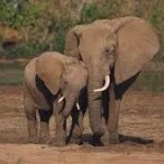Amarula Trust boosts fight for conservation of Elephants