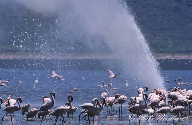 Lake Bogoria. Image from http://www.wildphotons.co.uk/pages/gallery-wildlife/africa.php?gall_id=28