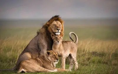 Lions in the Maasai Mara. Image from http://www.globaldestinations.co.ke/destination-masai-mara/