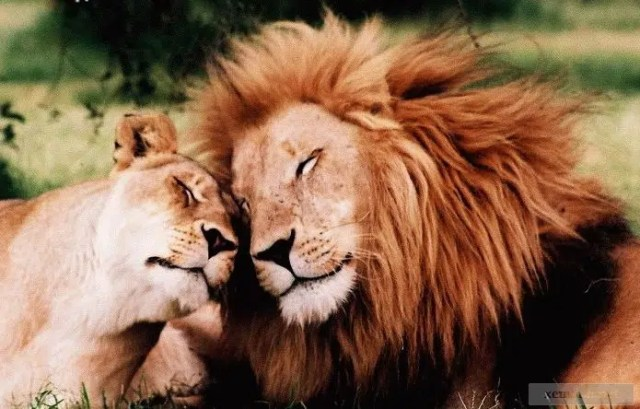 Lions in love. Image from http://www.rantlifestyle.com/2014/06/18/25-adorable-animals-that-are-in-love/
