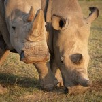 Scientists Create Northern White Rhino Embryos To Save Species From Extinction