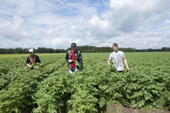 Inspeksjon av potetplantene