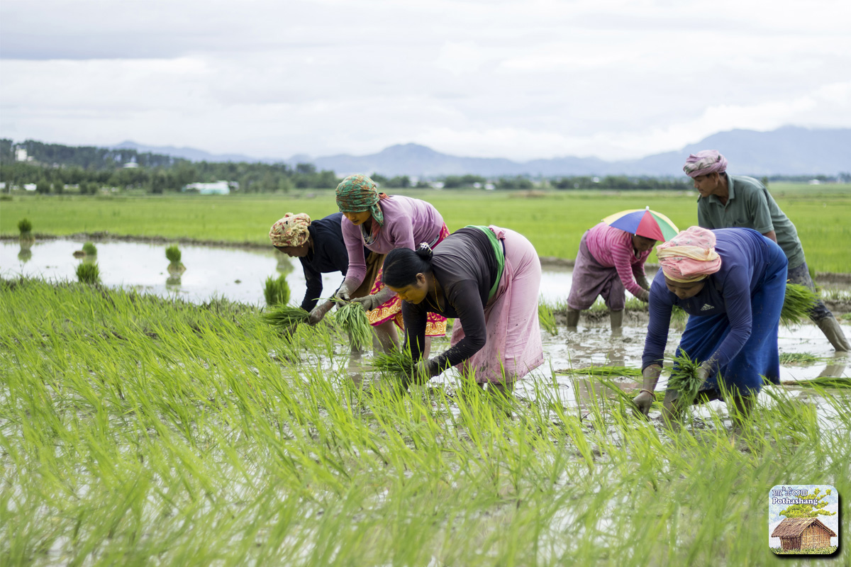 Women cultivating rice in Manipur