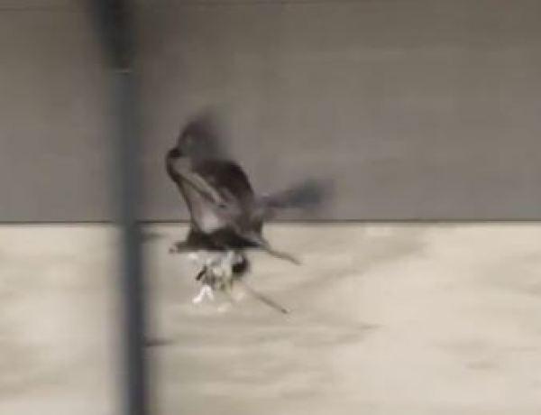 L'aigle : La nouvelle arme anti-drône…