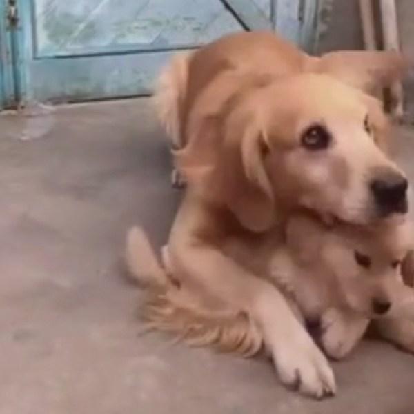 Trop mignon ! Cette chienne protège son petit comme une louve