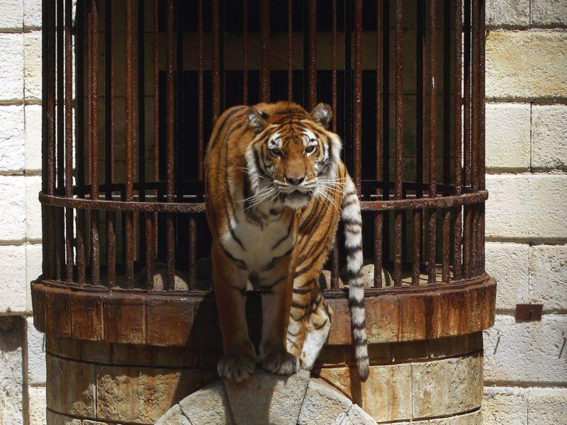 Fort Boyard : La PETA exige le retrait des tigres, le dresseur s'en moque !
