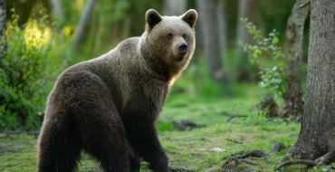 Quand un ours a peur d'un chasseur, il déploie une technique infaillible pour le faire fuir