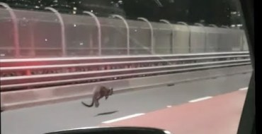 Quand la police de Sydney poursuit… un wallaby !