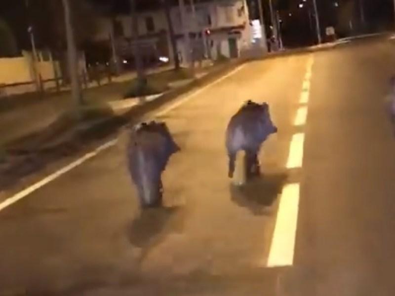 Marseille : Des sangliers aperçus… en pleine rue !