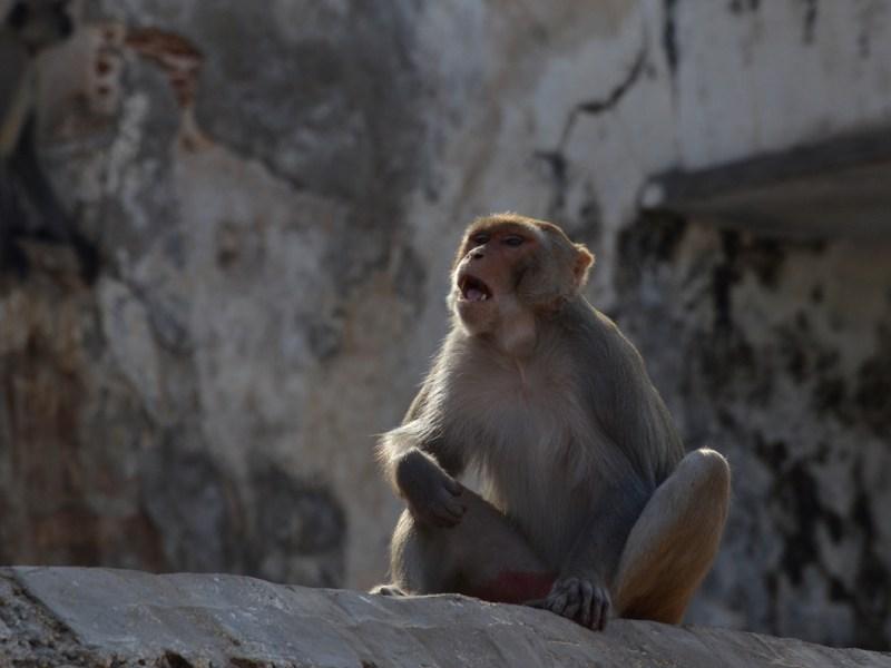 Inde : un nourrisson enlevé par un singe retrouvé mort au fond d'un puits