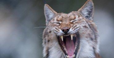 """<font color=""""#be075e"""" >Une Américaine</font>  attaquée par un lynx enragé parvient à le tuer à mains nus!"""