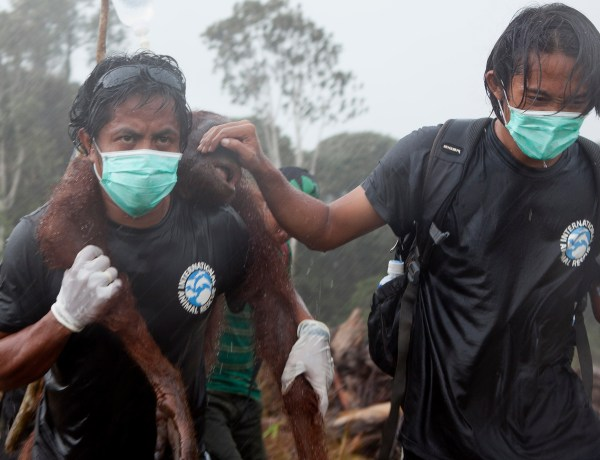 Bornéo : Un orang-outan lutte contre un bulldozer qui abat sa forêt