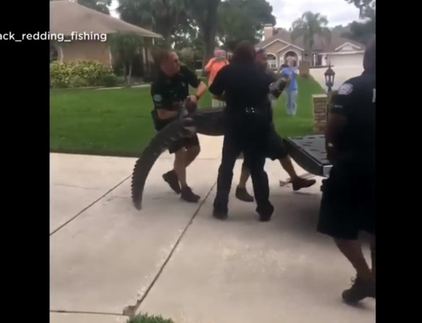 Floride : Un alligator assomme l'agent venu le capturer !